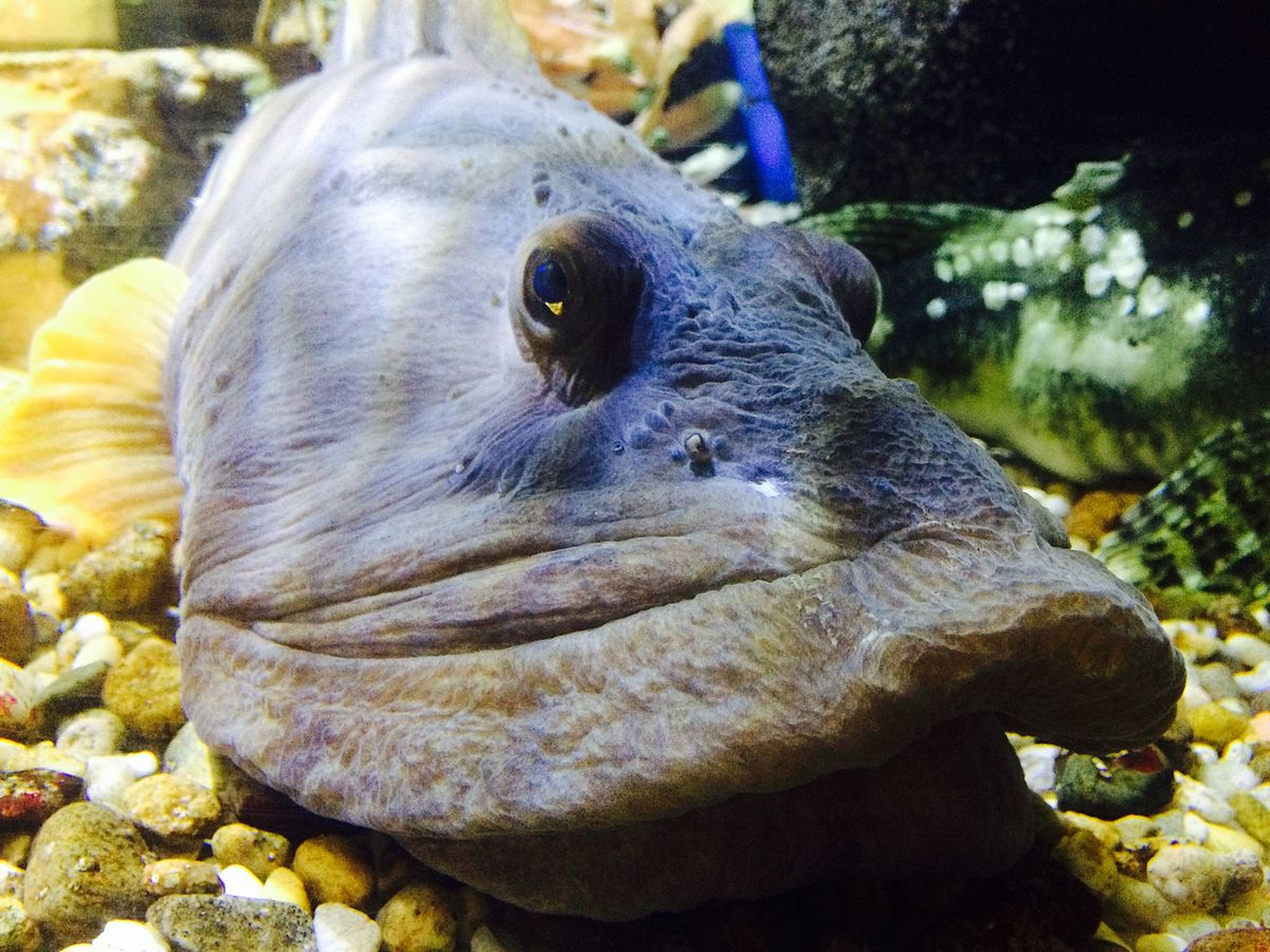 Ocean pout wikipedia for The pout pout fish