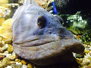 Ocean pout - Ocean pout at the Woods Hole Science Aquarium