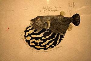Nederlands: Japanese blowfish (fugu)