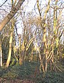 Warley Hall Wood - geograph.org.uk - 617772.jpg