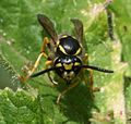 Wasp sp. - Flickr - S. Rae.jpg