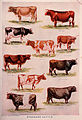 Webster's cows.jpg