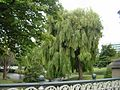 Weeping Willows along the River Avon in Christchurch, NZ (4280115454).jpg