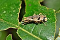 Weevil from Ecuador (14893213810).jpg