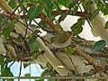 Western Crowned Warbler (Phylloscopus occipitalis) (32506615120).jpg