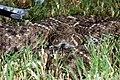 Western Diamondback Rattlesnake (Cortalus atrox) (1751239456).jpg