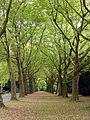 Westfriedhof Köln, Platanenallee (2).jpg
