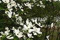 White-flower-dogwood-lake - West Virginia - ForestWander.jpg