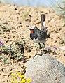 White-tailed Rubythroat (Luscinia pectoralis) (48701075046).jpg