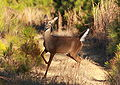White-tailed deer 52.jpg