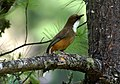 White-throated Laughingthrush Garrulax albogularis Bhutan by Dr. Raju Kasambe DSC 4745 (3).jpg