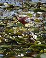 White Faced Ibis Brazoria Nwr Texas (29001717).jpeg
