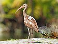 White Ibis - Eudocimus albus with Green Iguana in background, Fairchild Tropical Gardens, Coral Gables, Florida (38601933010).jpg