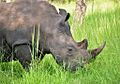 White Rhino, Uganda (15222537106).jpg