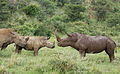 White rhinoceros or square-lipped rhinoceros, Ceratotherium simum. Note that in some of these photos there are a female with a calf, and a male that seems to have been challenging the calf. (16717360604).jpg