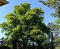 Wiener Naturdenkmal 455 - Winterlinde (Hietzing) f.jpg
