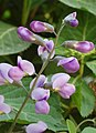Wild Indigo Baptisia 'Purple Smoke' Flower Stalk 2000px.jpg