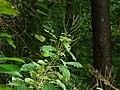 Wild Ramie (2856192386).jpg