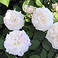 Winchester cathedral English rose.jpg