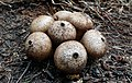 Wolf-fart Puffball, Stump Puffball (Lycoperdon pyriforme) (42073971692).jpg