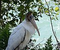 Wood Stork (36485880636).jpg