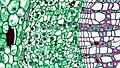 Woody Dicot Stem Primary Phloem One Year Sambucus (35922591815).jpg