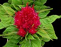 Woolflower or Cockscomb -- Celosia 2.jpg
