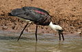 Woolly-necked stork, Bishop stork or White-necked stork, Ciconia episcopus, at uMkhuze Game Reserve, kwaZulu-Natal, South Africa (15301625730).jpg