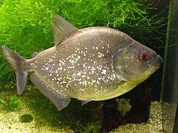 Un piranha noir, en aquarium