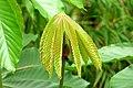 Yarumo negro (Cecropia angustifolia) - Flickr - Alejandro Bayer.jpg