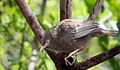 Yellow-billed Babbler or White-headed Babbler (Turdoides affinis).JPG