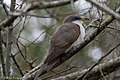 Yellow-billed Cuckoo Fall Out Sabine Woods TX 2018-04-08 11-53-47 (39677097770).jpg