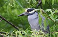 Yellow-crowned Night-Heron (cropping-lightening) (31692579463).jpg