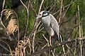 Yellow-crowned Night-Heron Estero Llano SP Mission TX 2018-03-14 08-03-24 (40104049954).jpg