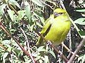 Yellow-crowned canary2.jpg
