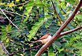 Yellow-eyed Babbler in Khajuraho, India.jpg