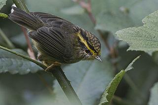 Yellow-throated fulvetta Species of bird