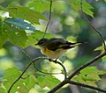 Yellow Bird (6222198735).jpg