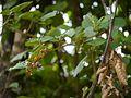 Yellow Himalayan Raspberry (14529137801).jpg