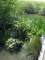 Yellow Iris (Iris pseudacorus) - geograph.org.uk - 1349379.jpg