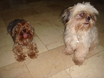 English: Yorkshire Terrier and Shih Tzu dogs