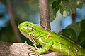 Young Iguana iguana.jpg