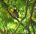 Young blackbird, Stanley - geograph.org.uk - 446859.jpg