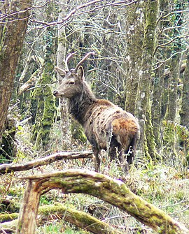 Young buck Killarney National Park.jpg