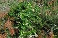 Zakynthos flora (35110384173).jpg