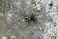 Zebra spider (BG) (7180791888).jpg