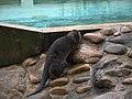 Zoo de Lunaret - Loutre - P1600171.jpg