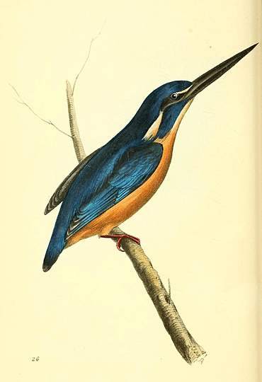 Zoological Illustrations Volume I Plate 26.jpg
