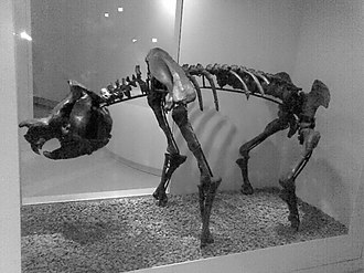 Zygomaturus - Z. tasmanicus on display