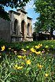 !-2011-wschowa-lapidarium-steiner-abri--tulipa-sylvestris.jpg